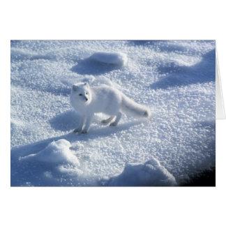 Arctic fox Alopex lagopus) An arctic fox, in 2 Card