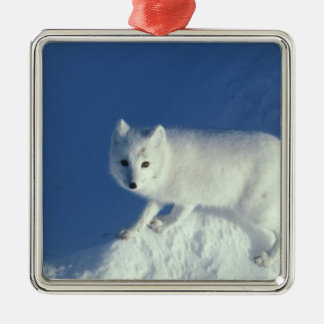 Arctic fox Alopex lagopus) An arctic fox, in Christmas Ornament