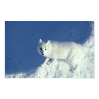 Arctic fox Alopex lagopus) An arctic fox, in Photo Print