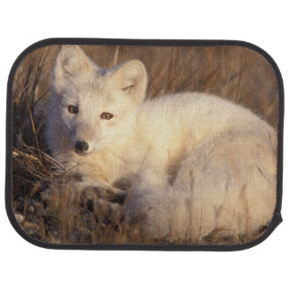 arctic fox, Alopex lagopus, coat changing from 2 Car Mat