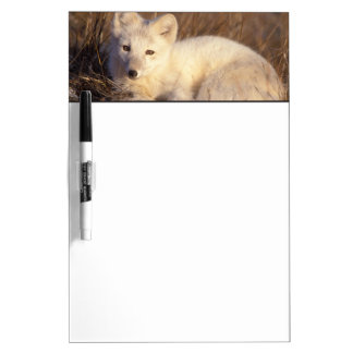 arctic fox, Alopex lagopus, coat changing from 2 Dry Erase Whiteboard