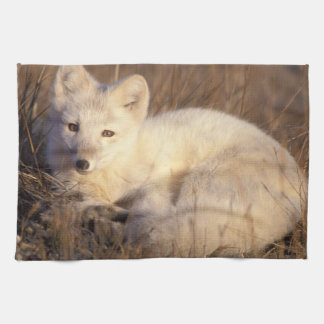 arctic fox, Alopex lagopus, coat changing from 2 Hand Towel