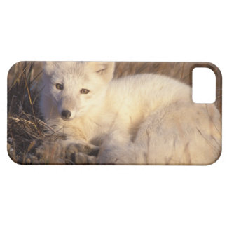 arctic fox, Alopex lagopus, coat changing from 2 iPhone 5 Cover