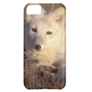 arctic fox, Alopex lagopus, coat changing from 2 iPhone 5C Case