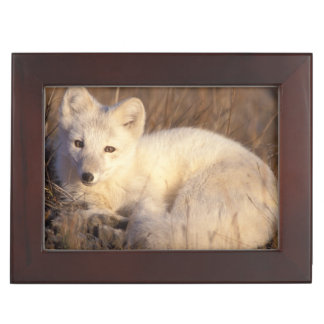 arctic fox, Alopex lagopus, coat changing from 2 Keepsake Box