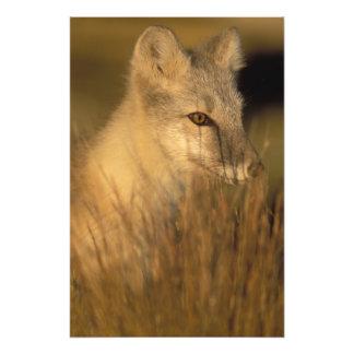 arctic fox, Alopex lagopus, coat changing from 2 Photo Print