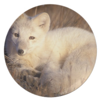 arctic fox, Alopex lagopus, coat changing from 2 Plate
