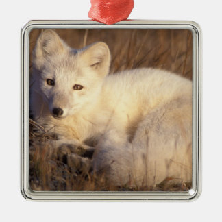 arctic fox, Alopex lagopus, coat changing from 2 Silver-Colored Square Decoration