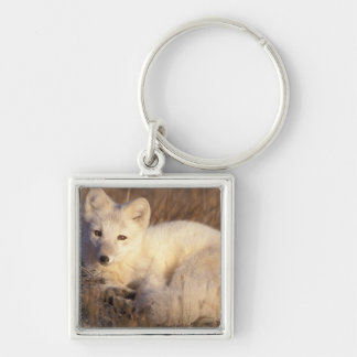 arctic fox, Alopex lagopus, coat changing from 2 Silver-Colored Square Key Ring
