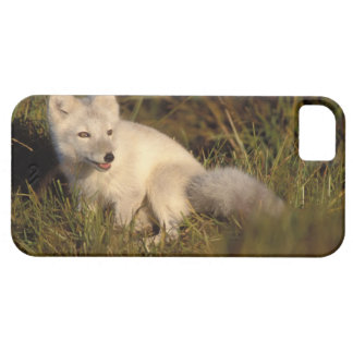 arctic fox, Alopex lagopus, coat changing from 3 Case For The iPhone 5