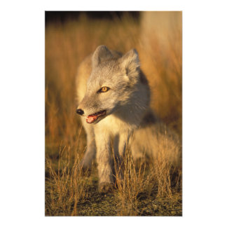 arctic fox, Alopex lagopus, coat changing from 3 Photo Print