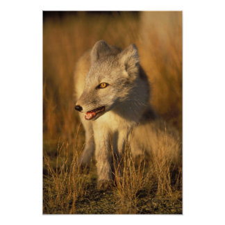 arctic fox, Alopex lagopus, coat changing from 3 Poster
