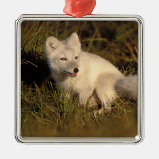 arctic fox, Alopex lagopus, coat changing from 3 Silver-Colored Square Decoration