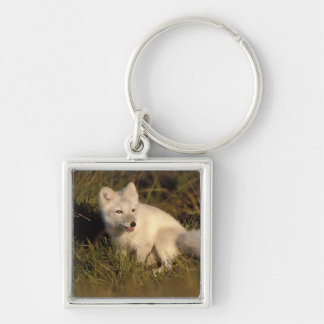 arctic fox, Alopex lagopus, coat changing from 3 Silver-Colored Square Key Ring