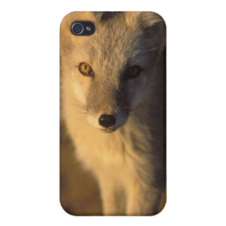 arctic fox, Alopex lagopus, coat changing from iPhone 4 Case