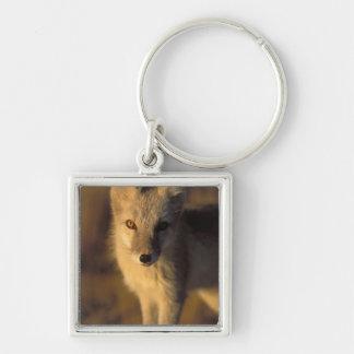 arctic fox, Alopex lagopus, coat changing from Key Ring