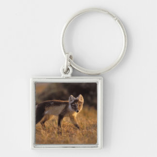 arctic fox, Alopex lagopus, coat changing from Silver-Colored Square Key Ring