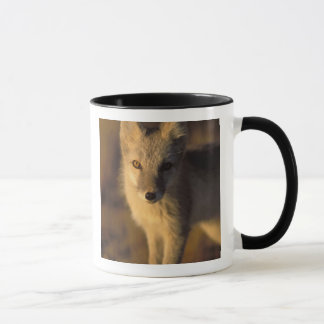 arctic fox, Alopex lagopus, coat changing from Mug