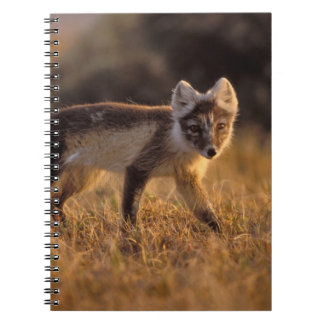 arctic fox, Alopex lagopus, coat changing from Notebook