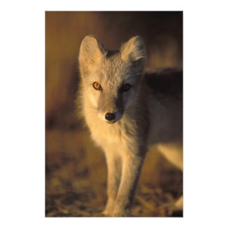 arctic fox, Alopex lagopus, coat changing from Photographic Print