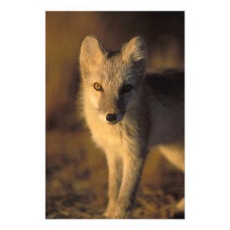 arctic fox, Alopex lagopus, coat changing from Photo Print