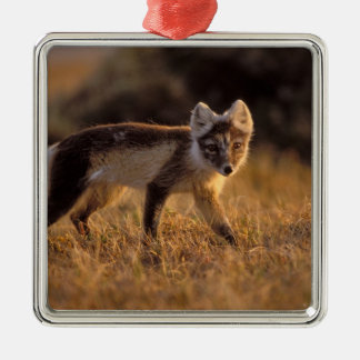 arctic fox, Alopex lagopus, coat changing from Silver-Colored Square Decoration