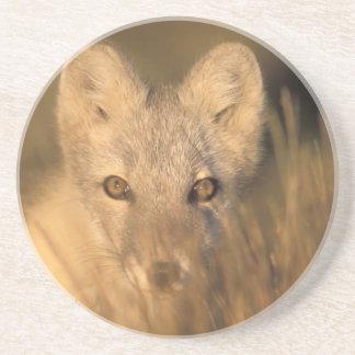 arctic fox, Alopex lagopus, on the 1002 coastal 2 Coaster