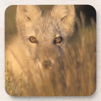 arctic fox, Alopex lagopus, on the 1002 coastal 2 Drink Coasters
