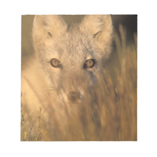 arctic fox, Alopex lagopus, on the 1002 coastal 2 Notepad