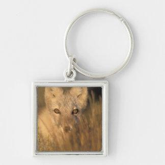 arctic fox, Alopex lagopus, on the 1002 coastal 2 Silver-Colored Square Key Ring