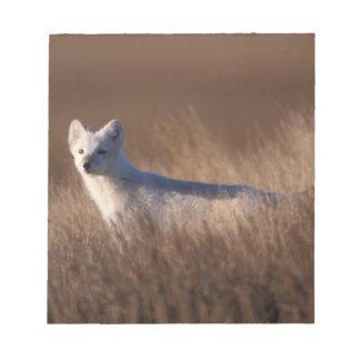 arctic fox, Alopex lagopus, on the 1002 coastal Notepad