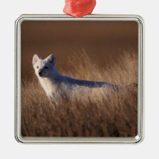 arctic fox, Alopex lagopus, on the 1002 coastal Silver-Colored Square Decoration