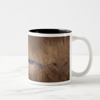 arctic fox, Alopex lagopus, on the 1002 coastal Two-Tone Coffee Mug
