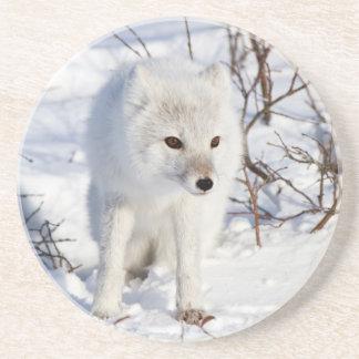 Arctic Fox , Churchill Wildlife Management Area Beverage Coasters