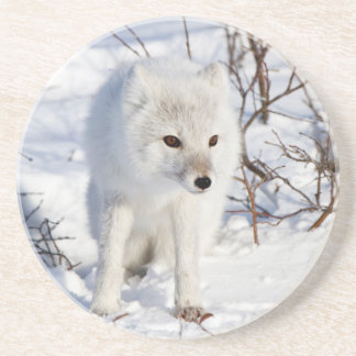 Arctic Fox , Churchill Wildlife Management Area Coaster