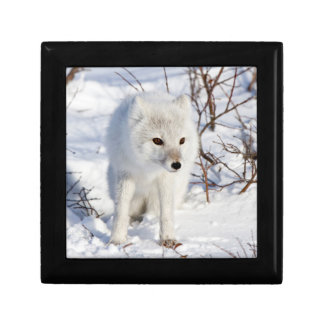 Arctic Fox , Churchill Wildlife Management Area Gift Box