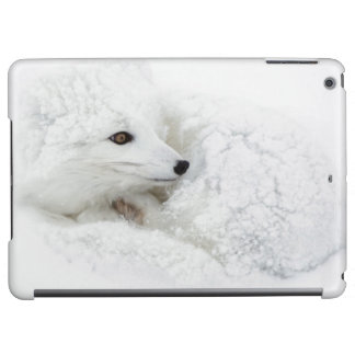 Arctic Fox curled up in winter