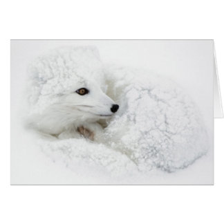 Arctic Fox curled up in winter Card