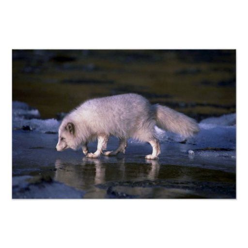 Arctic Fox foraging along icy river Print