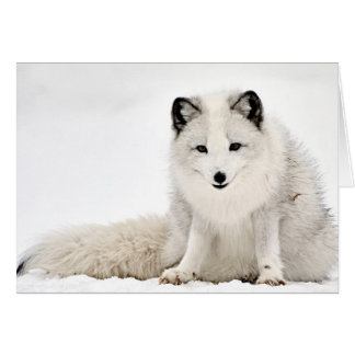 Arctic Fox in the Snow Card