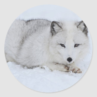 Arctic Fox in the Snow Round Sticker