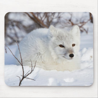 Arctic Fox in winter Mouse Mat