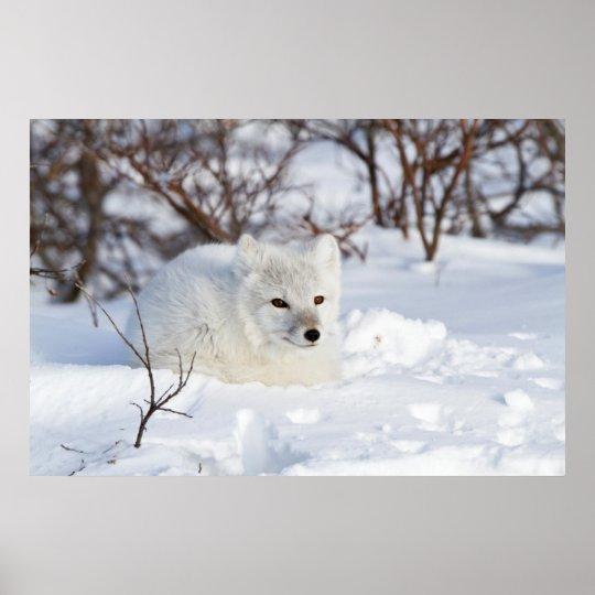 Arctic Fox in winter Poster