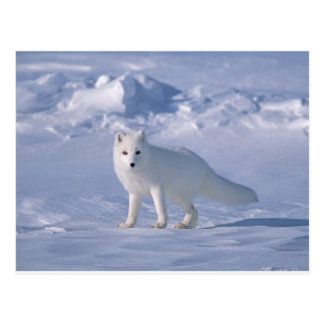 Arctic Fox Postcard