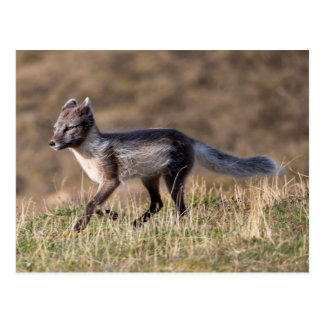 Arctic Fox Running Postcard
