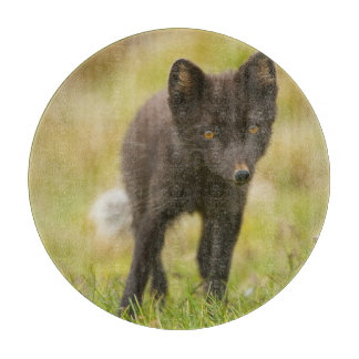 Arctic fox searches for food cutting board