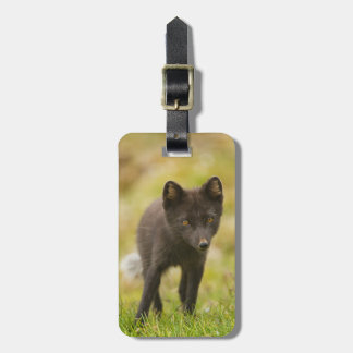 Arctic fox searches for food luggage tag