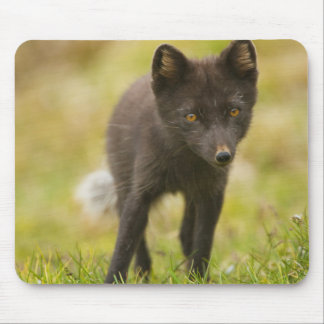 Arctic fox searches for food mouse mat