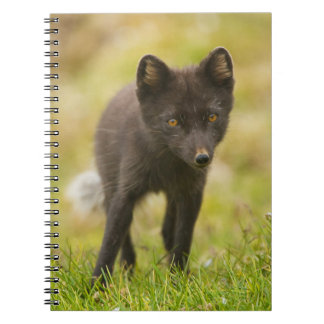 Arctic fox searches for food notebook