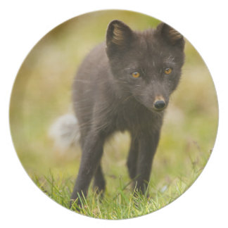 Arctic fox searches for food plate